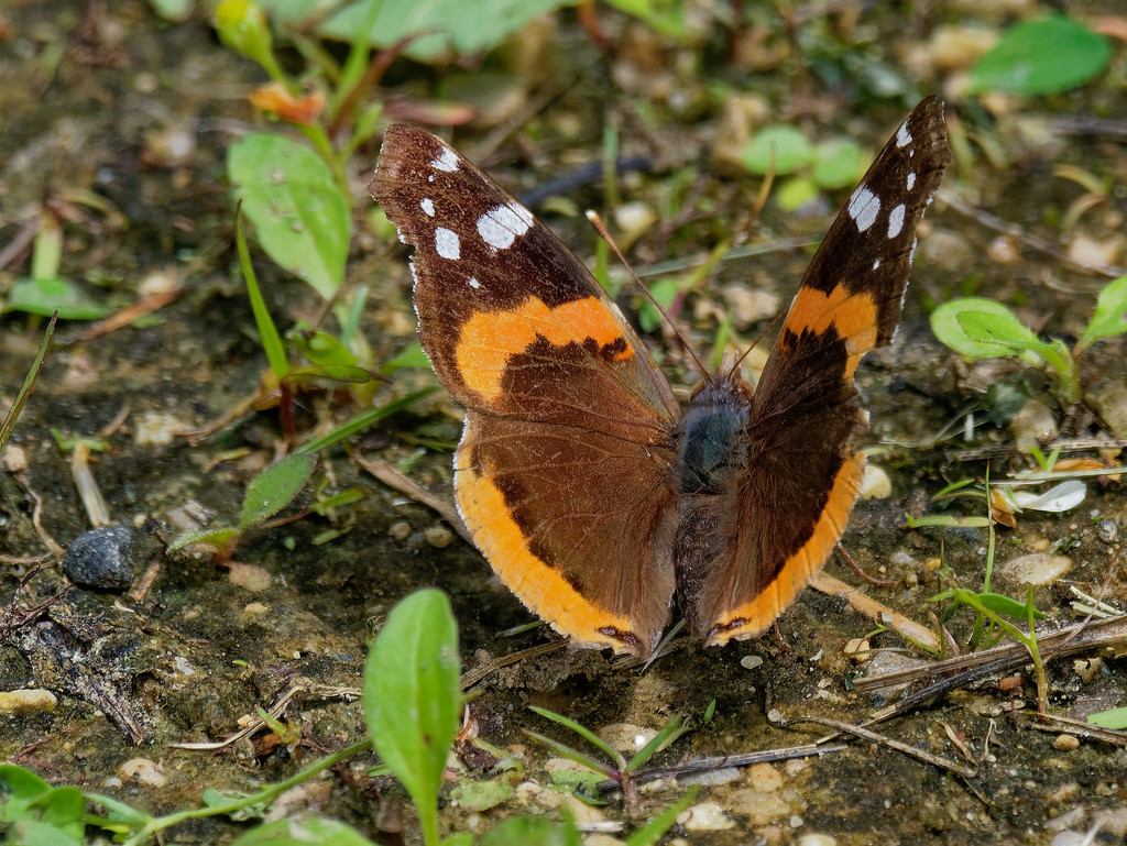 Red admiral butterfly by rminer