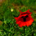 A Red Poppy by snoopybooboo