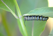 26th Jun 2019 - Monarch Caterpillar