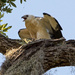 Swallowtail Kite Newbie! by rickster549