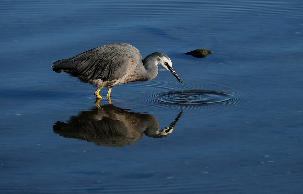 White faced heron with a crab by maureenpp
