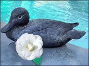 27th Jun 2019 - My oldest Duck,