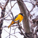 oriole by aecasey