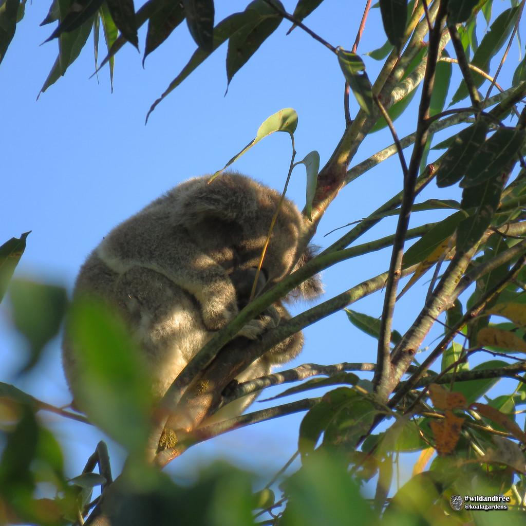like fruit ripe to pick by koalagardens