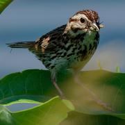 27th Jun 2019 - song sparrow bug closeup