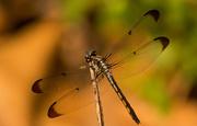 27th Jun 2019 - Dragonfly on it's Stick!