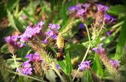 26th Jun 2019 - Hummingbird moth on purple