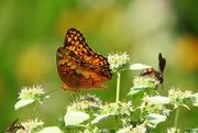 27th Jun 2019 - Butterflies and bees