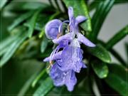 28th Jun 2019 - The tiny Rosemary flower.