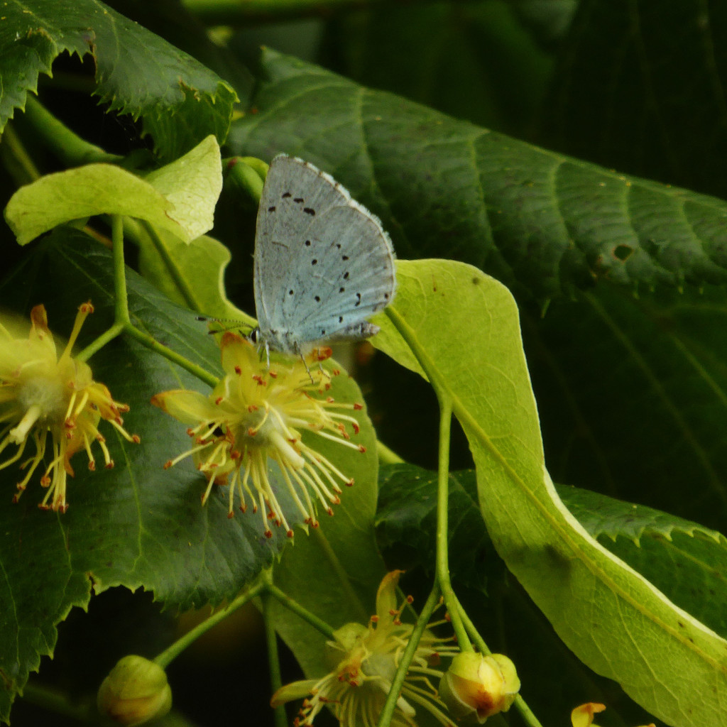 Holly blue butterfly feeding on lime by shannejw