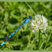 Damselfly And Clover by carolmw