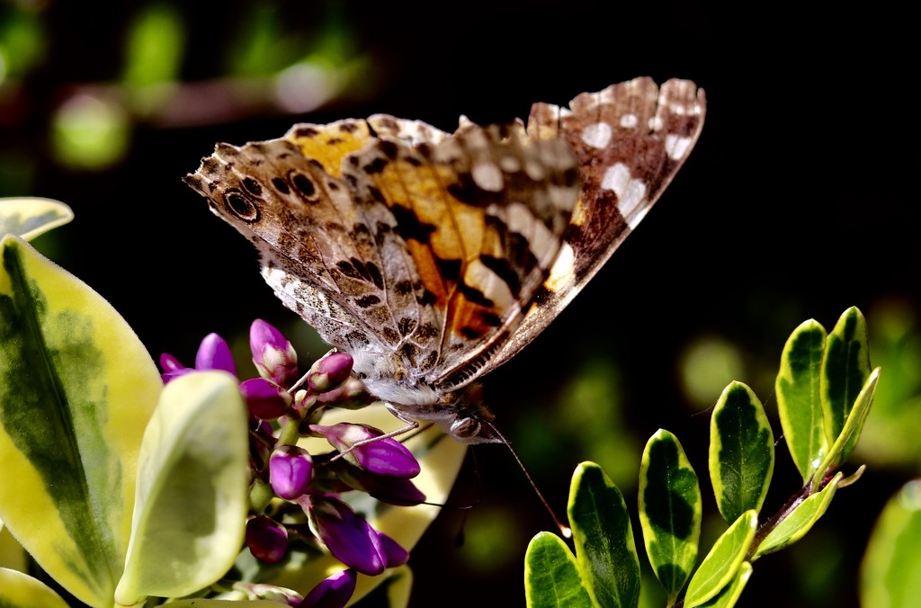 Painted Lady?  by carole_sandford