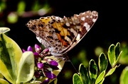 28th Jun 2019 - Painted Lady?