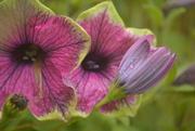 28th Jun 2019 - Garden flowers.......