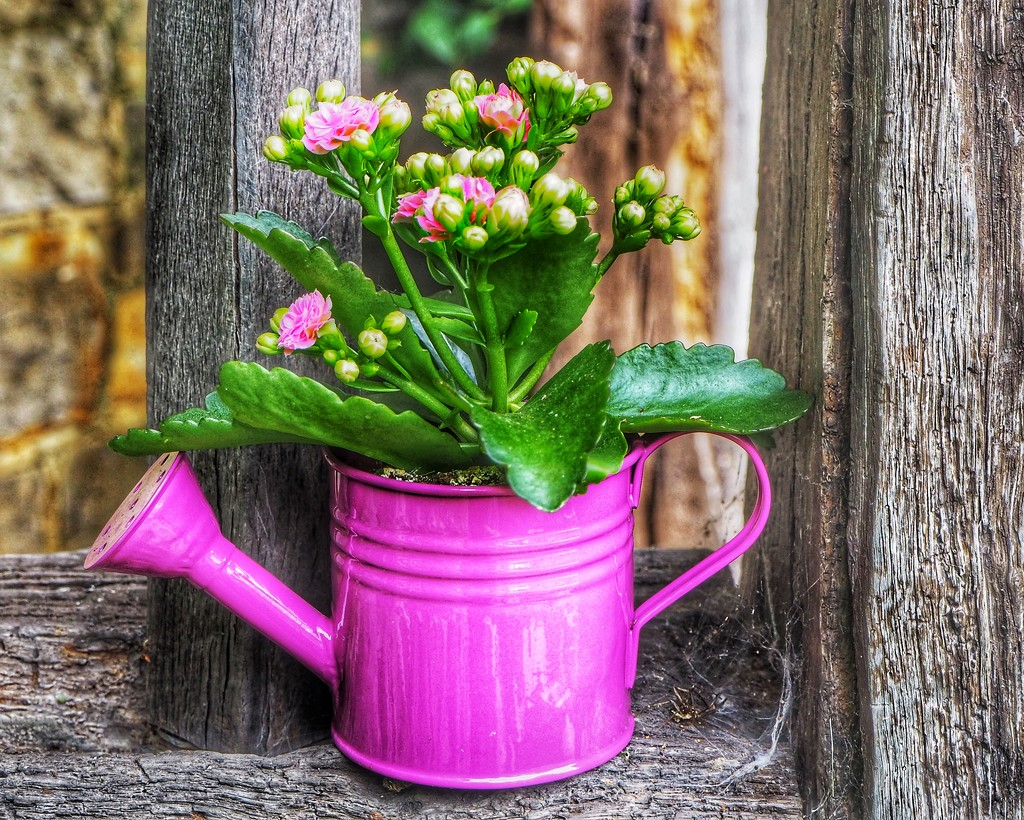 Kalanchoe by suesmith