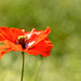 Single Poppy by shepherdmanswife