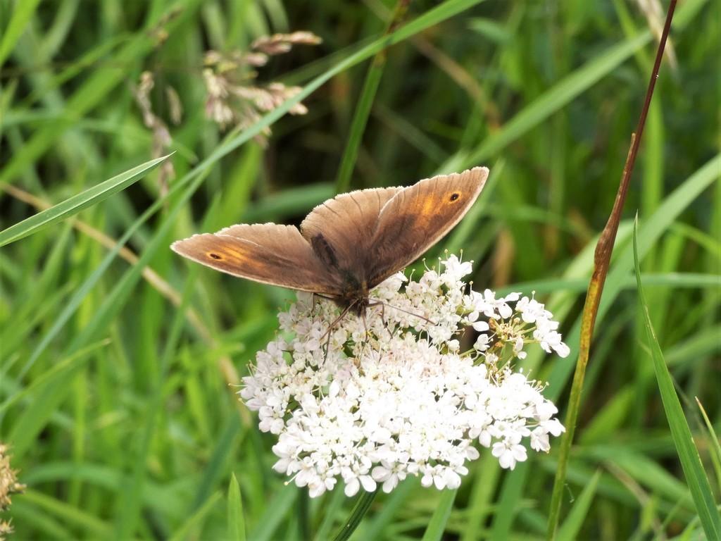 Meadow Brown by julienne1