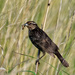 Female red-winged blackbird with grub