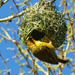 GIF Weaver building his nest.   by ludwigsdiana