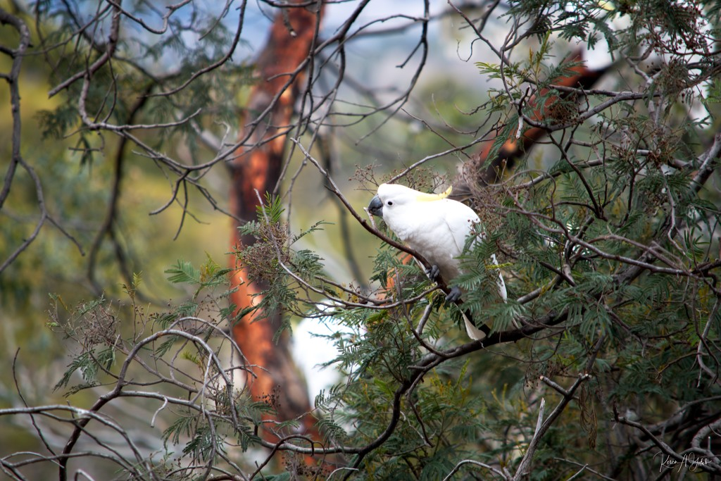 Wild Yellow Crested Cockatoo. by kgolab
