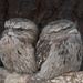 Tawny Frogmouth by kgolab