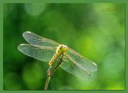 29th Jun 2019 - Dragonfly