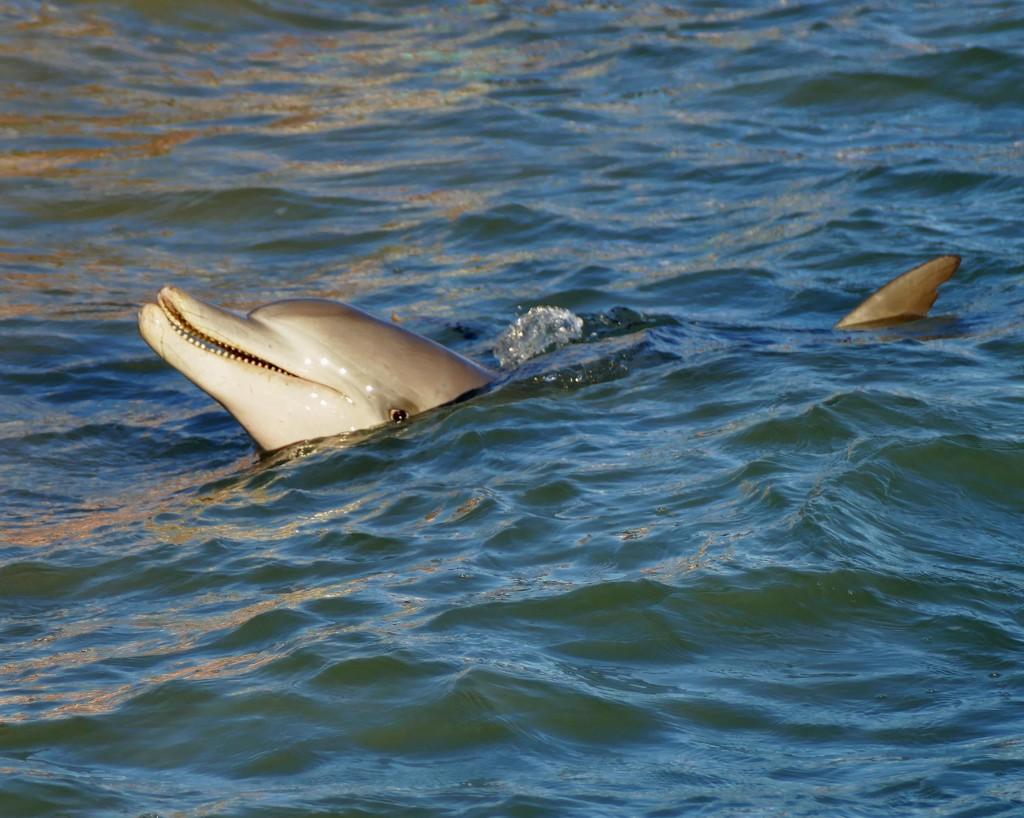 happy dolphin by judithdeacon