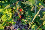 23rd Jun 2019 - The strawberry grows underneath the nettle
