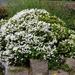 Hebe -in flower (2)