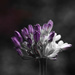 Agapanthus 3 by motherjane