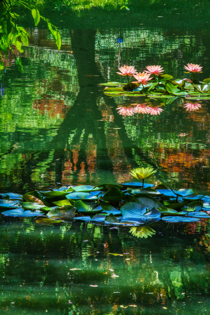 Reflections on Water Lillies by kvphoto