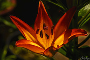 30th Jun 2019 - Lily Lit from Within