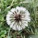 Dandelion by kjarn