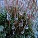 Frozen dew drops on moss by maureenpp