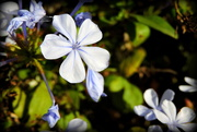 28th Jun 2019 - Plumbago Blue