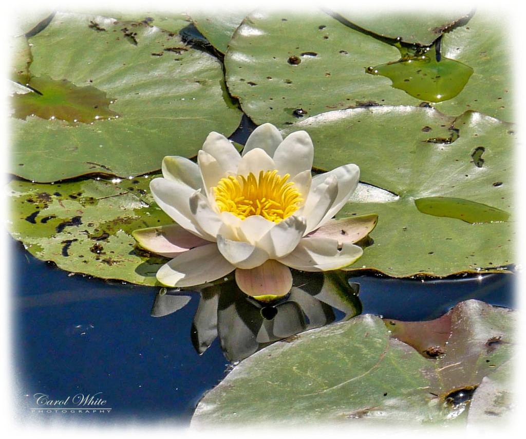 Waterlily by carolmw