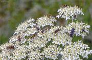 29th Jun 2019 - Hoverflies