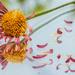 Fallen Petals by fbailey