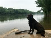 5th Jun 2019 - retriever on the Shanandoah River