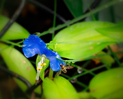 30th Jun 2019 - tiny blue flower with a surprise