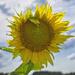 Sunflower Field by eudora
