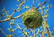 1st Jul 2019 - Weaver nest,