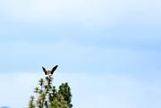 29th Jun 2019 - Bald Eagle Butterfly Look