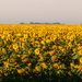 Sunflower fields by mv_wolfie