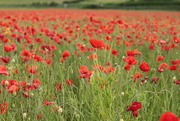 23rd Jun 2019 - Poppy field