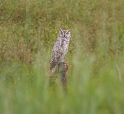 29th Jun 2019 - great horned owl