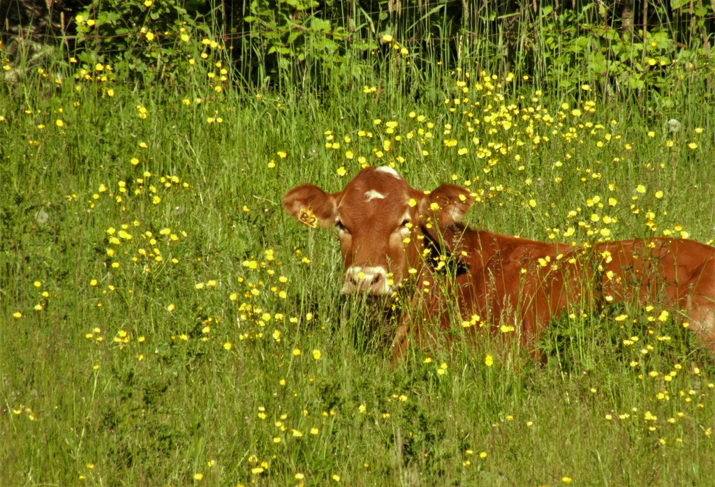 A Jersey Cow in a field of Buttercups  by radiogirl