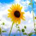 Summer Sunflower by judyc57