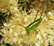 1st Jul 2019 - Short-winged Conehead