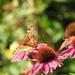 Butterfly on coneflower by homeschoolmom